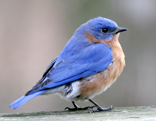 Eastern Bluebird--male by cotinis