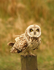 Short-eared Owl, by Flickr user Wildaboutburnley