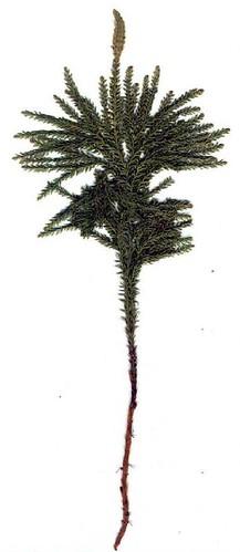 lycopodium_dendroideum 2