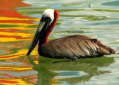 pelican bliss II