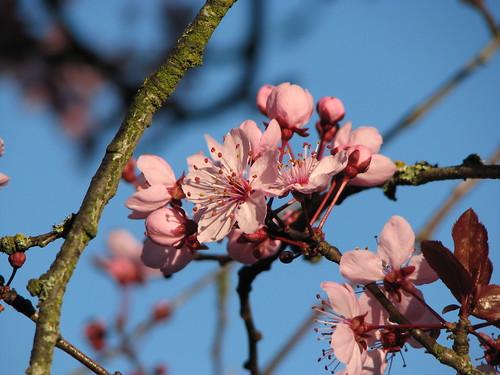Ornamental Plum Tree 10