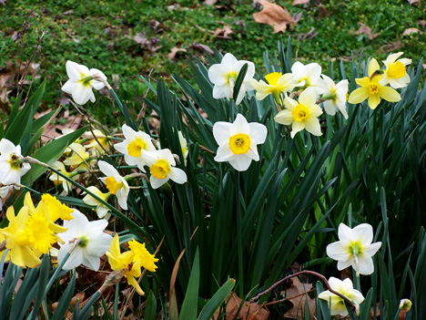 Group of Daffodils