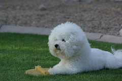 I'm a Bichon not a retriever. If you want it, ...