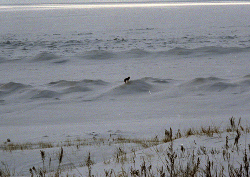 2007 0300 Wolf on LakeMIUS2