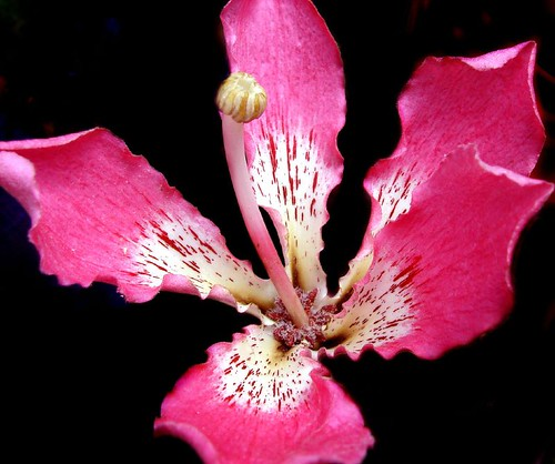 An example of stunning pink color of a Chorisia speciosa flower