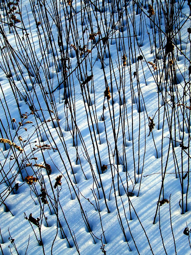 goldenrod stem stripes