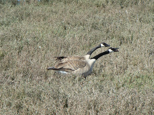 Canada Geese chasing off an unwelcome third wheel!
