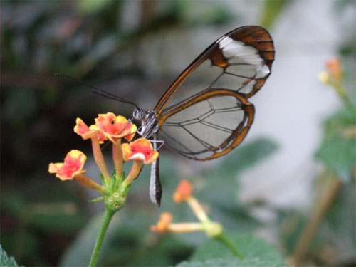 glasswing05