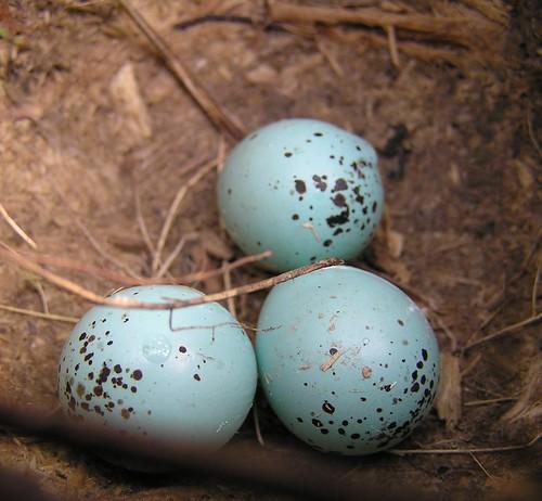 easter eggs in my garden..