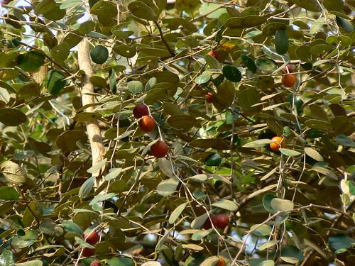 Ber tree -Ilandhai