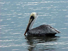 "Mvc00083: Pelican • <a style=""font-size:0.8em;"" href=""http://www.flickr.com/photos/54494252@N00/22059410/"" target=""_blank"">View on Flickr</a>"