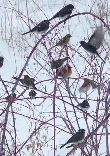 feeder birds on black raspberry canes