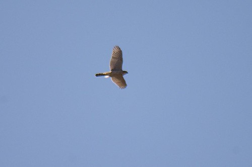 goshawk on the move