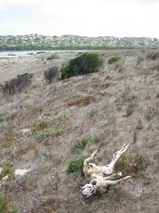dead roo near beach