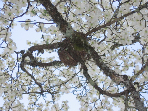 Nest in dogwood