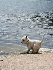 Westie on Beach