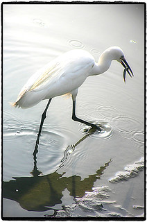 鷺鷥 Snowy Egret