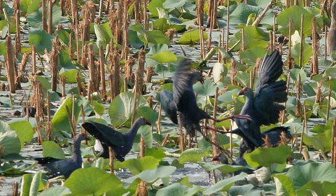 Purple Swamphens fighting, Lalbagh Lake, 19 Mar 07