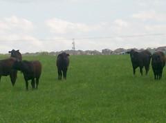 Alliance Texas neighborhood cows2