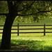 Point Reyes Oak Tree