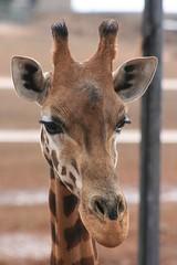 Giraffe, in Portrait