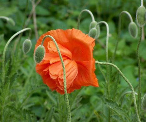 1 Poppy