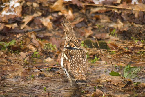 Ruffed Grouse running from me