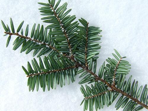 adelgid twig