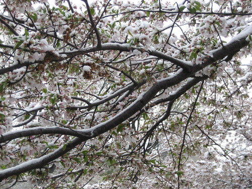 Snow on the cherry blossoms