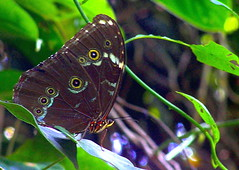 In the rain forest, Blue morpho at rest