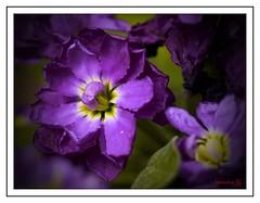 Flor de alelí 2