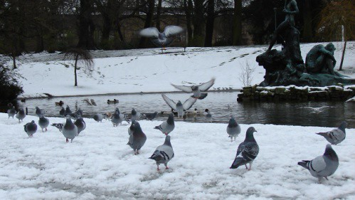 Pigeons in the snow - gent