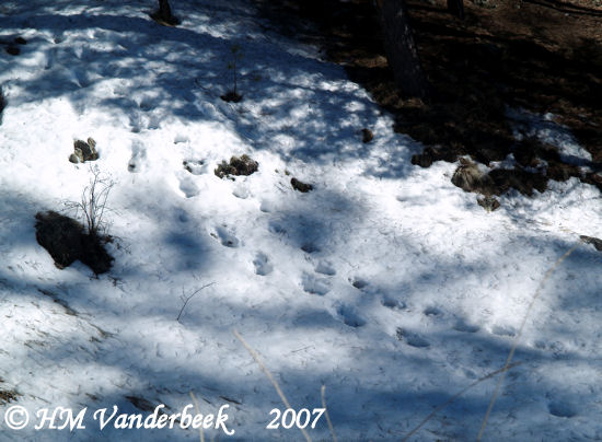 Moose Tracks!?