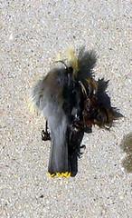 Peregrine Falcon Prey Remains 1