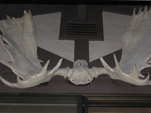 yes, they're moose antlers!