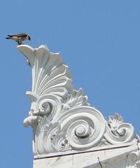 Peregrine Falcon - Museum Female