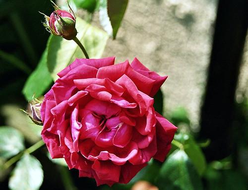 That rose again