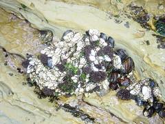 Barnacles, shellfish, green algae at low tide