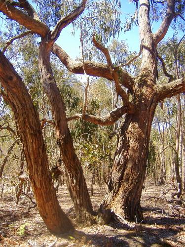 Ancient Gumtree