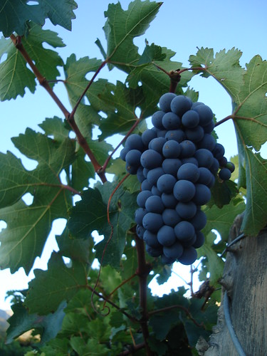 Uvas de Salta