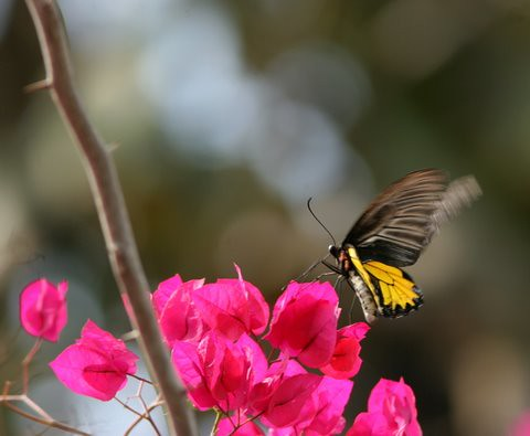 Southern Birdwing on Bougainvillea ...side