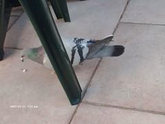 pigeon7