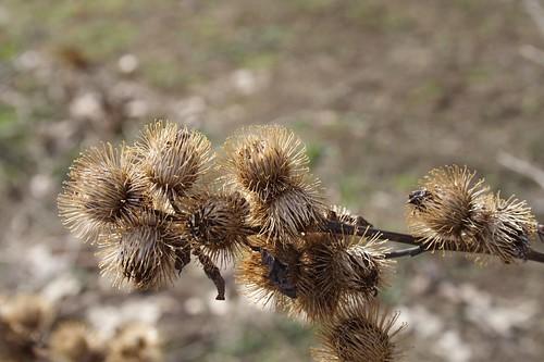 Burdock Seeds