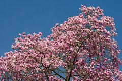 Magnolia and sky