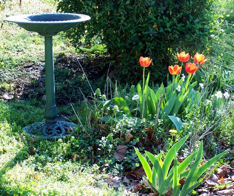 Birdbath & Tulips