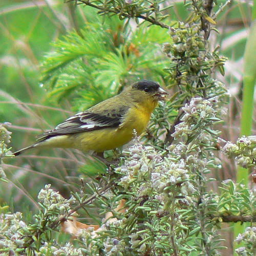Lesser Goldfinch, male