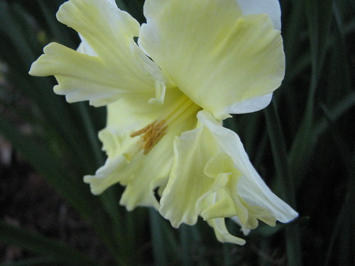 White frill daffodil 2