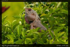 Garden-Lizard
