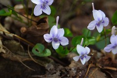Long-spurred Violets