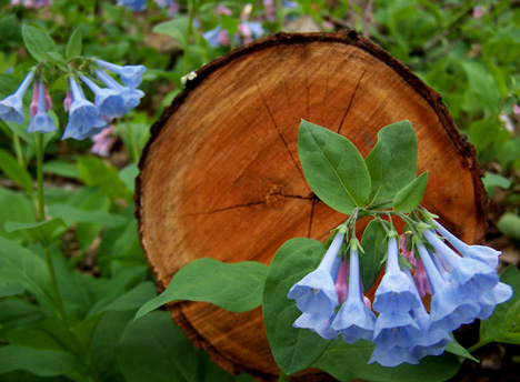 Bluebells & Log